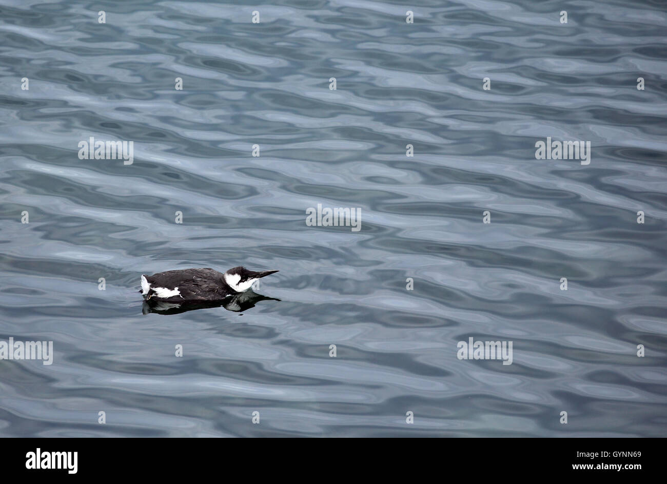 Sickly looking young guillemot swimming very slowly in the bay at the side of the breakwater in Brixham, Devon, - Stock Image