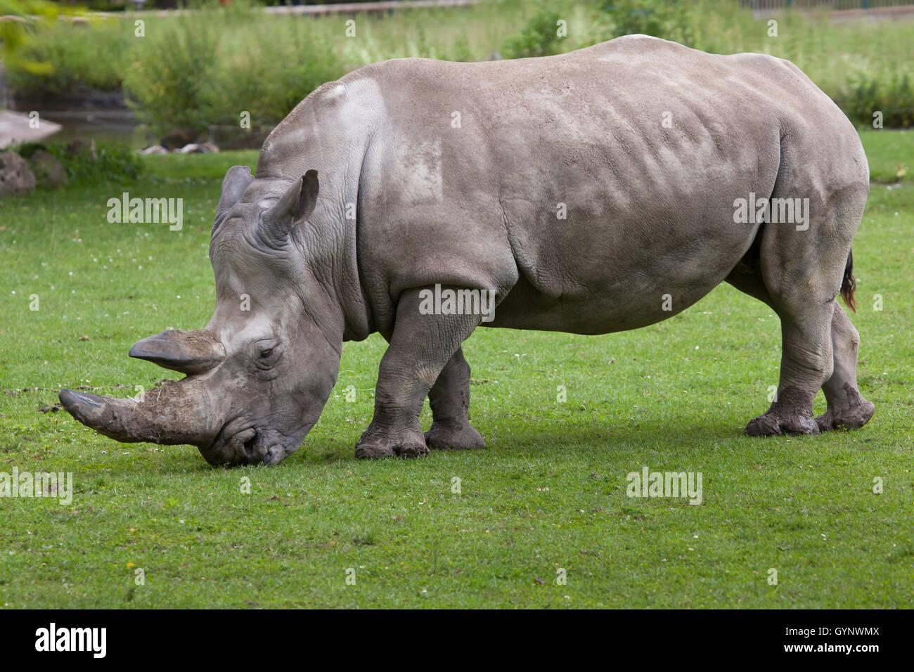 Southern white rhinoceros (Ceratotherium simum simum) at Augsburg Zoo in Bavaria, Germany. - Stock Image
