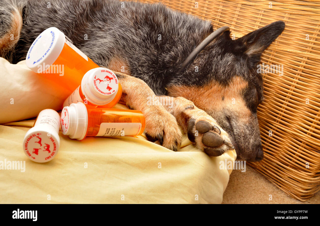 A 9-year-old female, spayed, deaf, Australian Cattle Dog recuperates from Valley Fever, coccidioidomycosis. - Stock Image