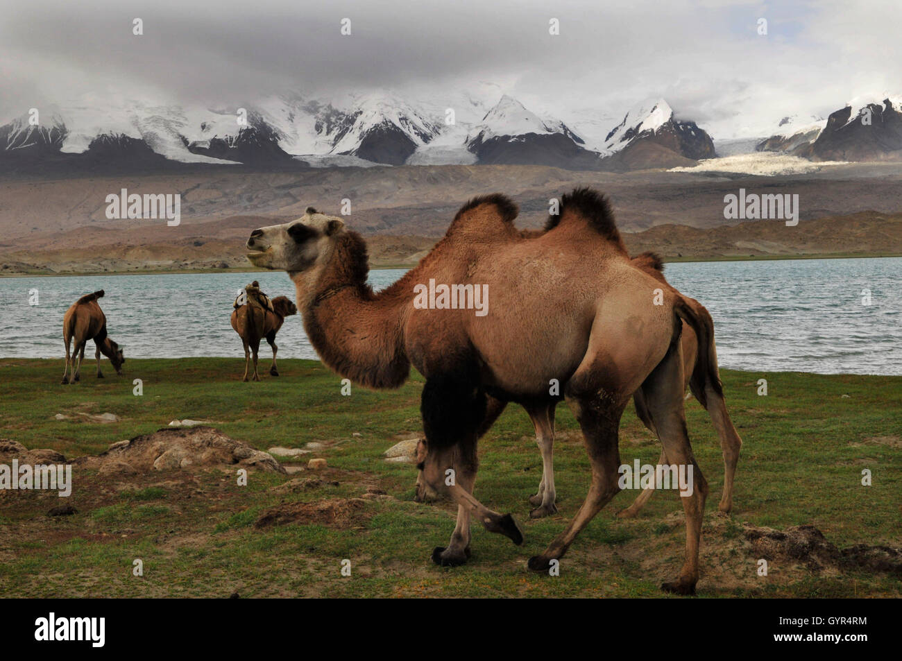Bactrian camels grazing by Karakul lake in Xinjiang, China. - Stock Image
