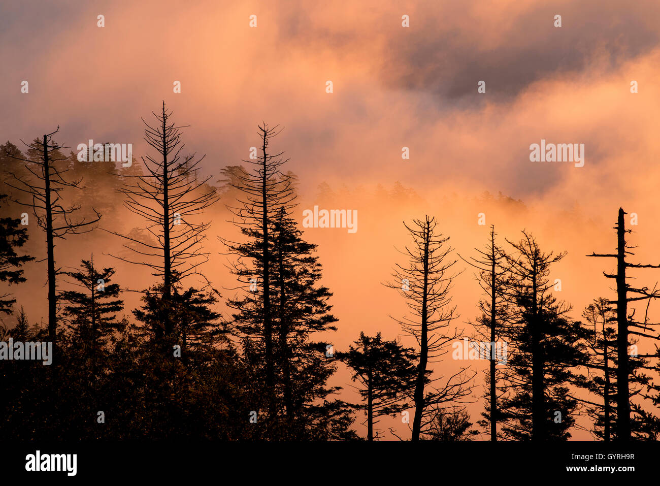Dead Fraser Fir (Abies fraseri) trees, sunrise, Clingmans Dome, Great Smoky Mountains National Park, Tennessee USA - Stock Image