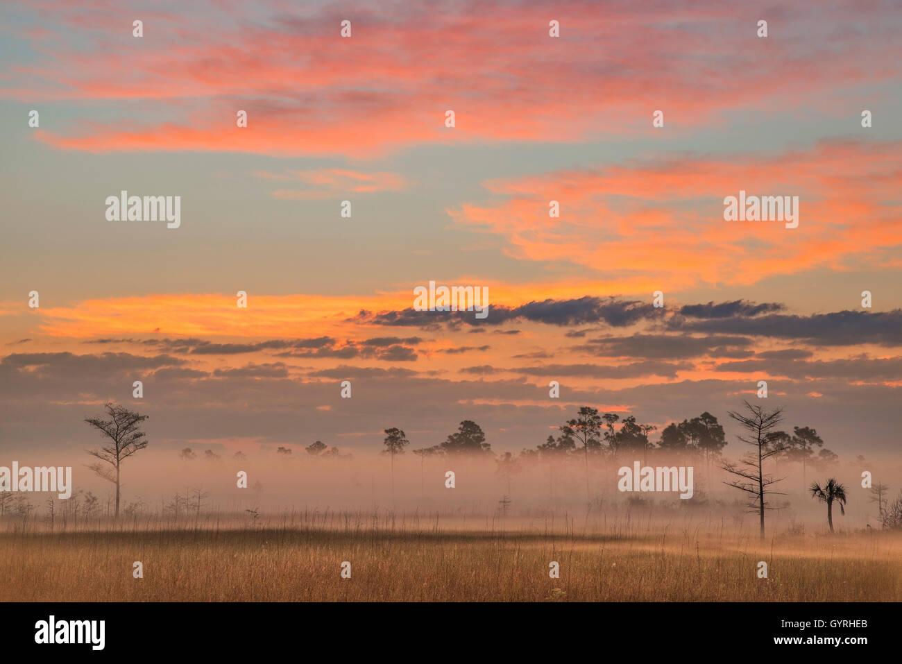Sunrise, Sawgrass Prairie and Slash Pine Trees (Pinus elliottii), Everglades National Park, Florida USA - Stock Image