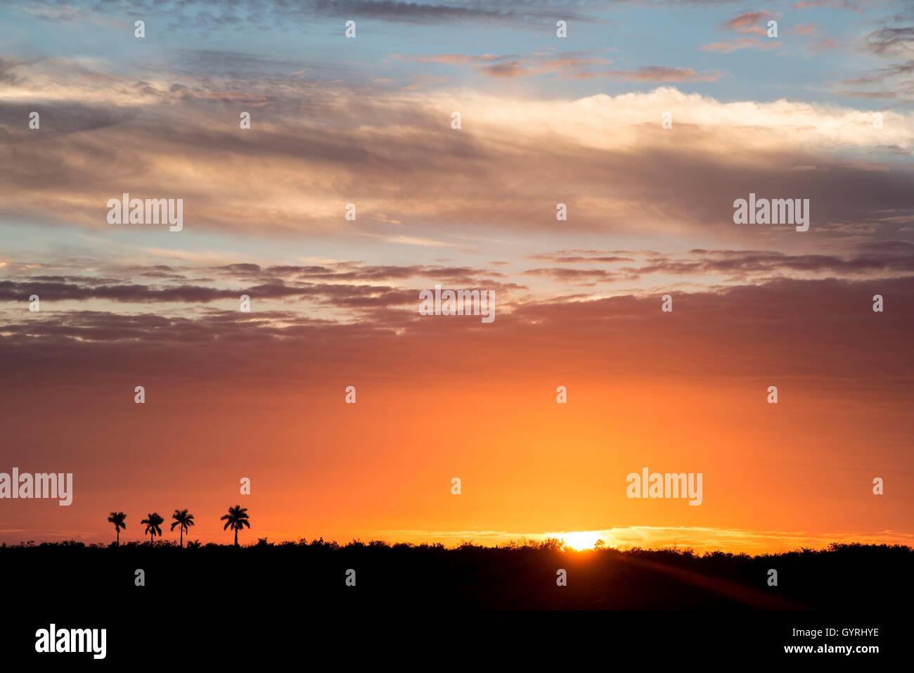 Sunset and Royal Palm (Roystonea oleracea) trees of Paradise Key & Royal Palm Hammock, Everglades National Park Stock Photo