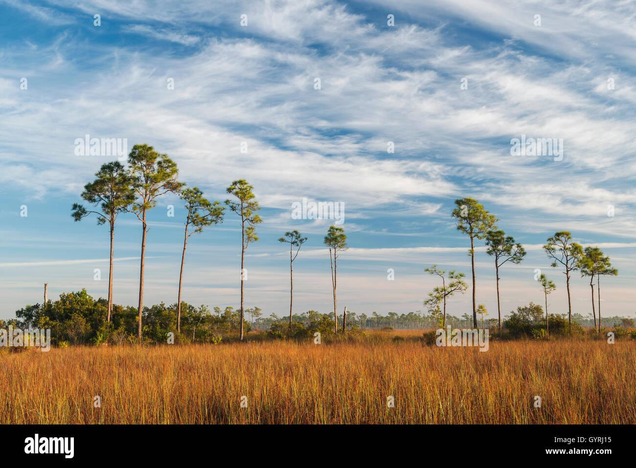 Sawgrass Prairie and Slash Pine Trees (Pinus elliottii), Everglades National Park, Florida USA  Dembin - Stock Image