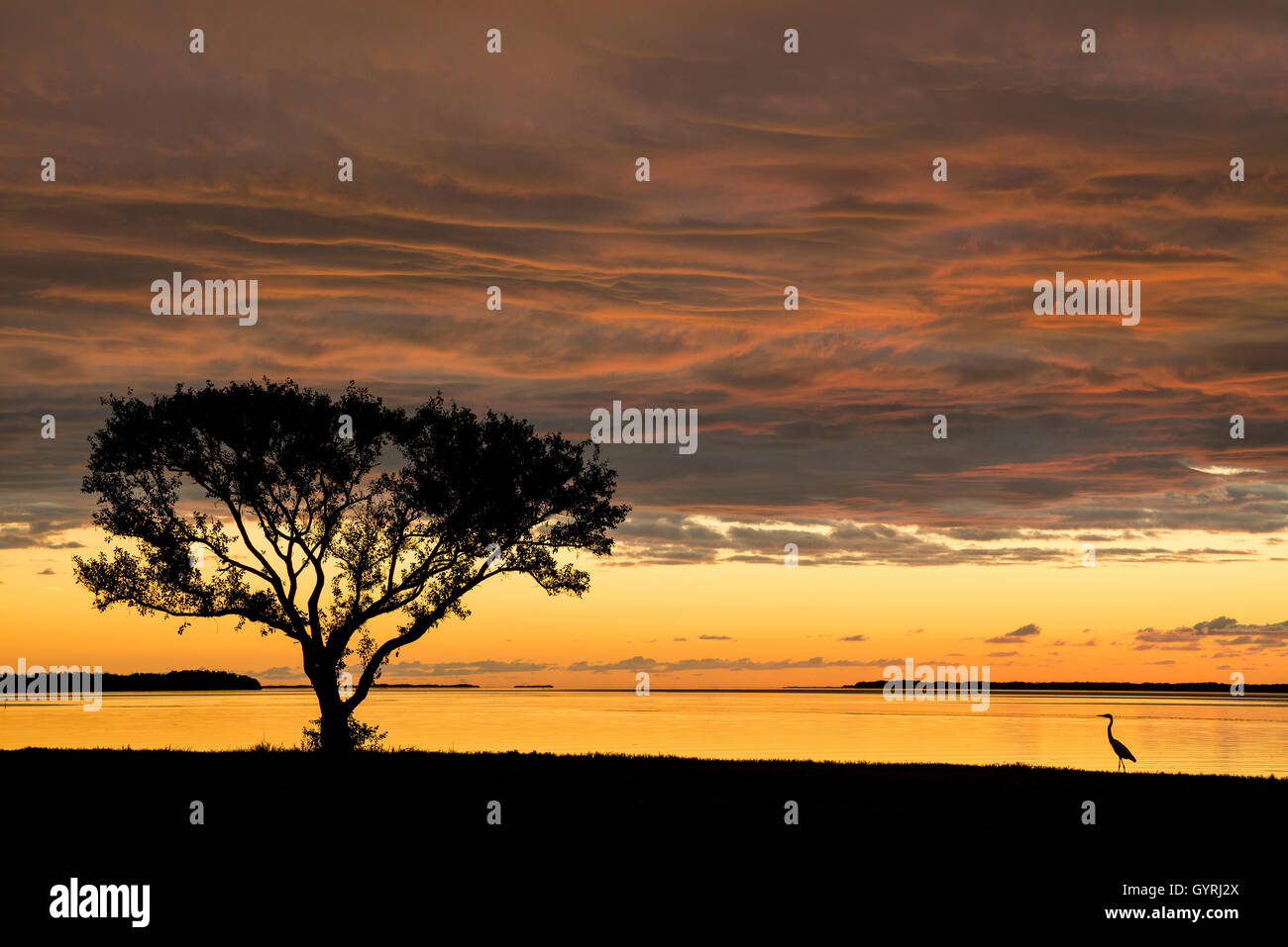 Buttonwood Tree (Conocarpus erectrus) at sunrise & Great Egret (Ardea alba) Florida Bay, Everglades NP Florida USA Stock Photo