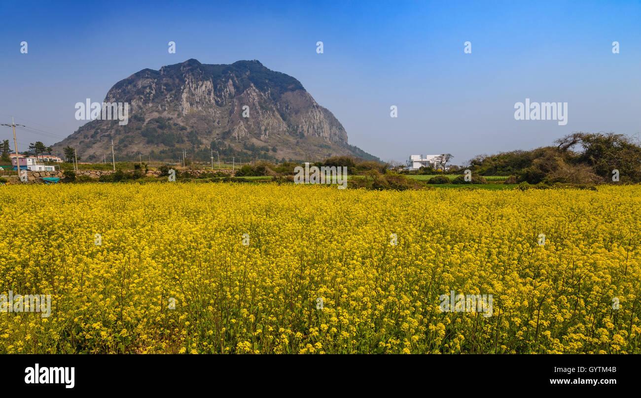 Canola field at Sanbangsan, Jeju, South Korea Stock Photo