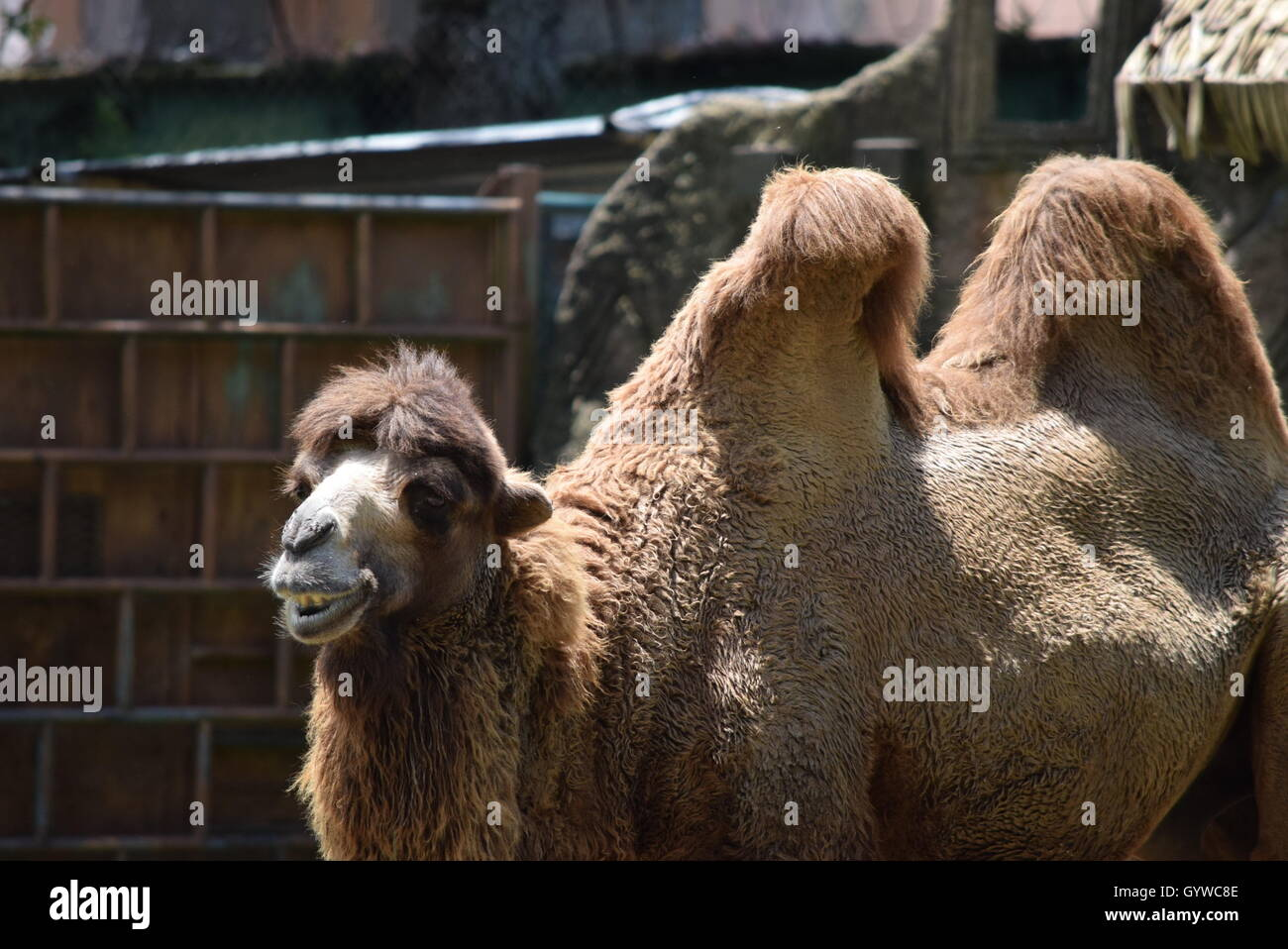 Bactrian Camel - Stock Image