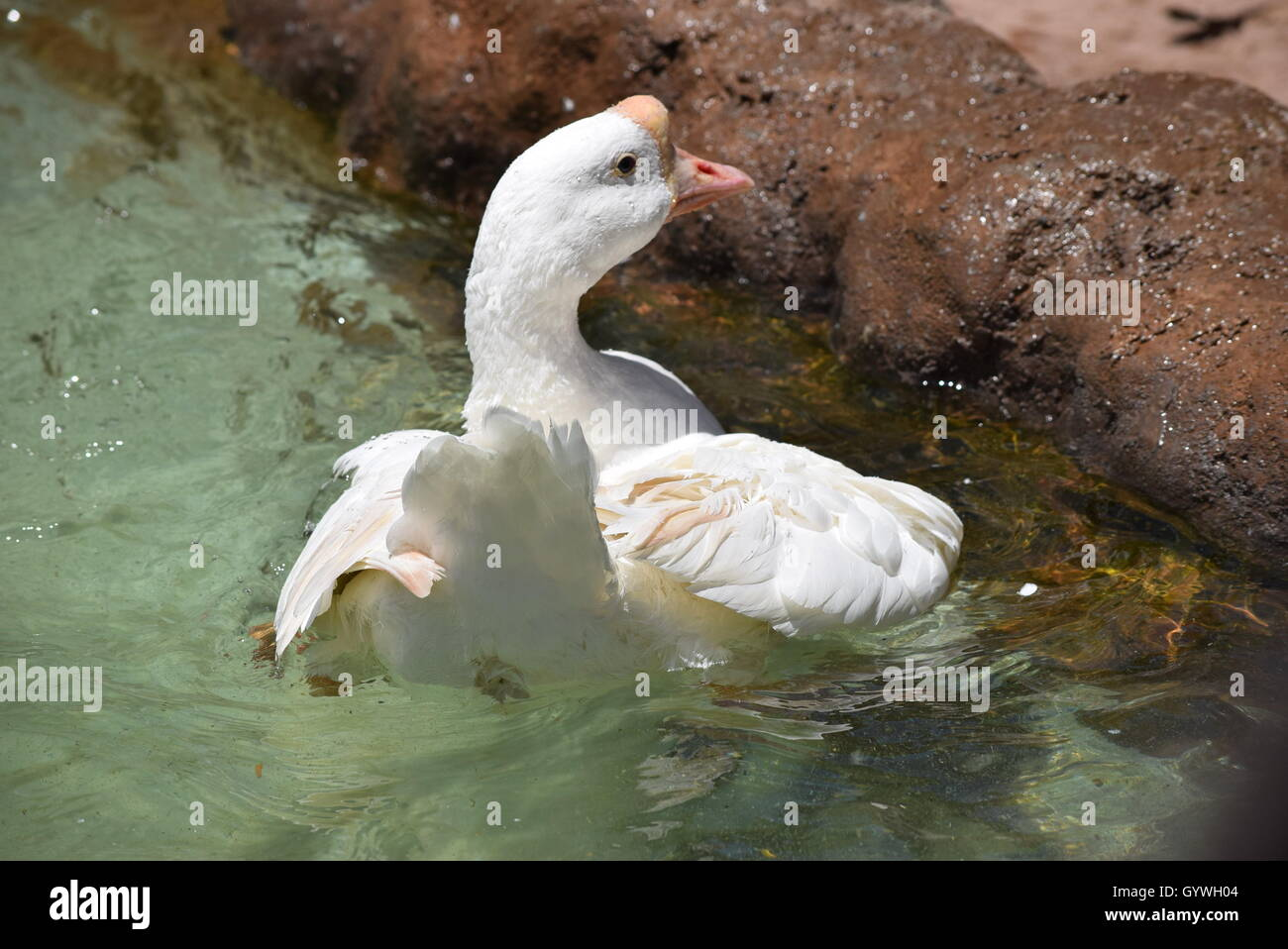 Swan Flapping in the Aurora Zoo, Guatemala - Stock Image