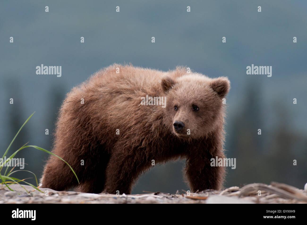 Brown bear cub (Ursus arctos) in Lake Clark National Park, Alaska - Stock Image