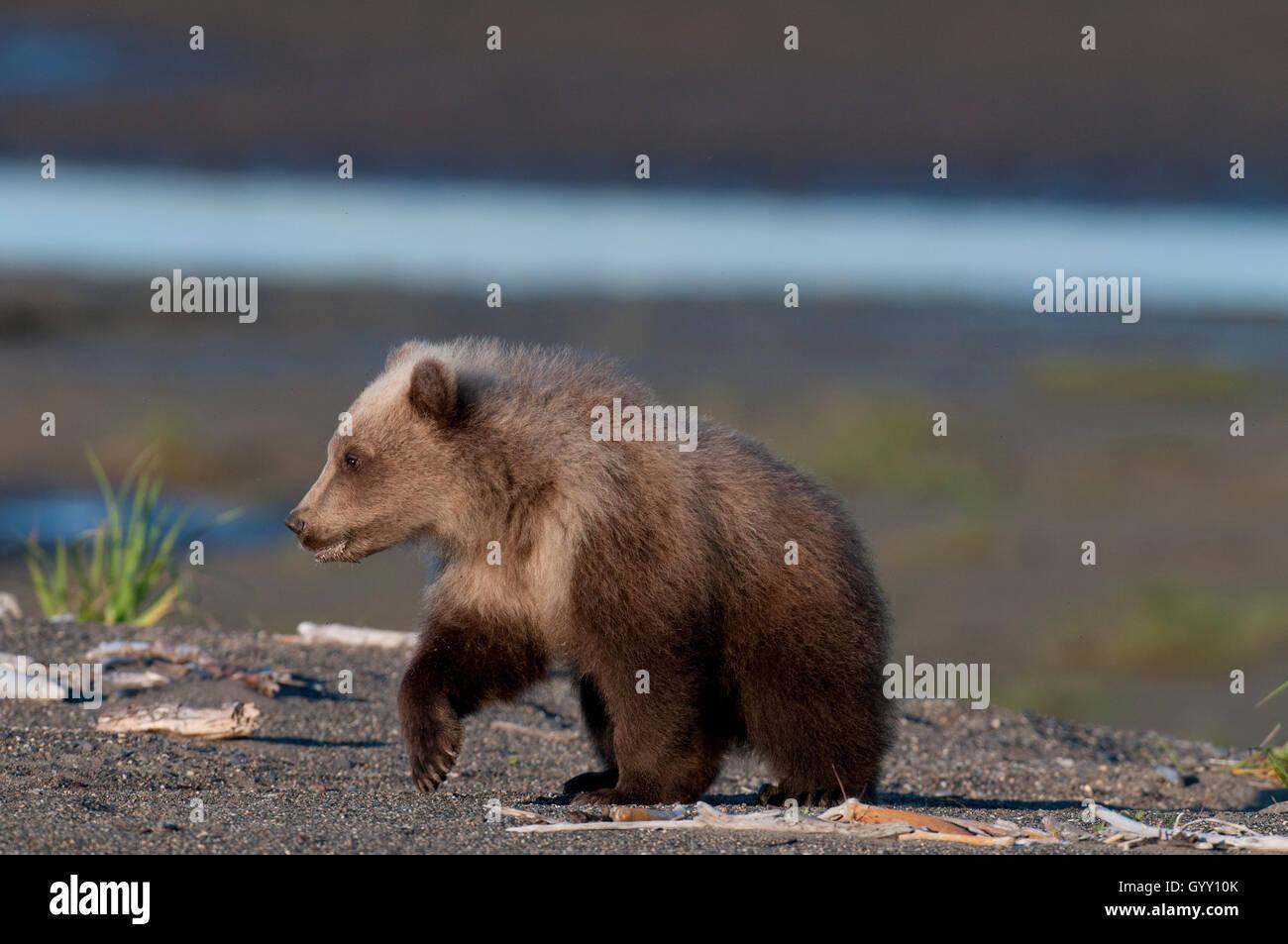 Brown bear cub (Ursus arctos) walking on beach in Lake Clark National Park, Alaska - Stock Image