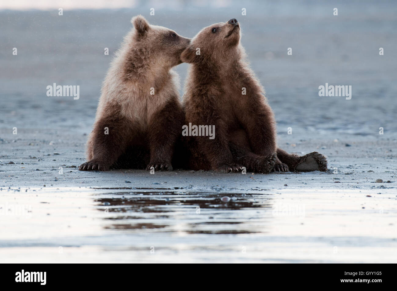 Brown bear cubs (Ursus arctos) on tidal flat in Lake Clark National Park, Alaska - Stock Image