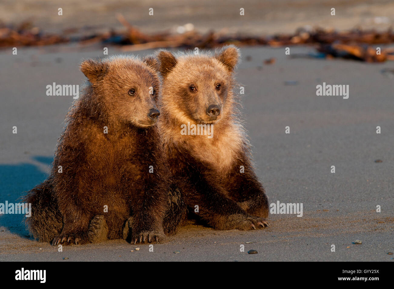 Brown bear cubs (Ursus arctos) resting on beach in Lake Clark National Park, Alaska - Stock Image
