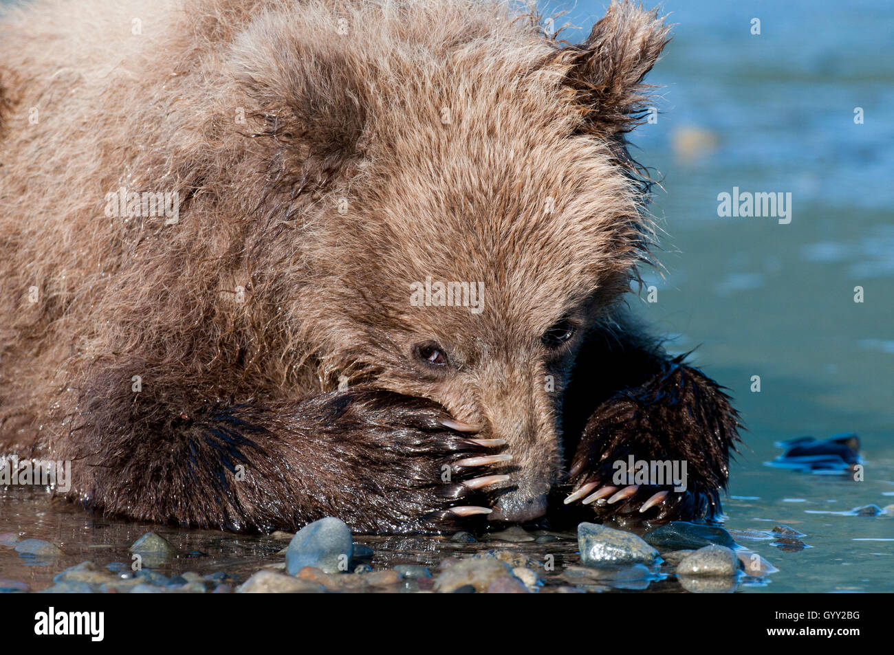 Brown bear cub (Ursus arctos) resting on beach with his paws over his nose in Lake Clark National Park, Alaska - Stock Image