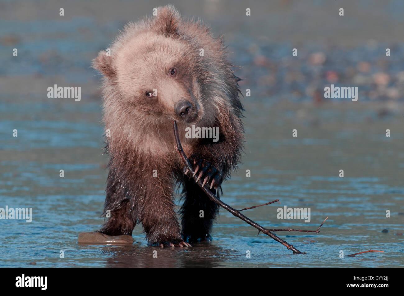 Brown bear cub (Ursus arctos) playing with stick in Lake Clark National Park, Alaska - Stock Image