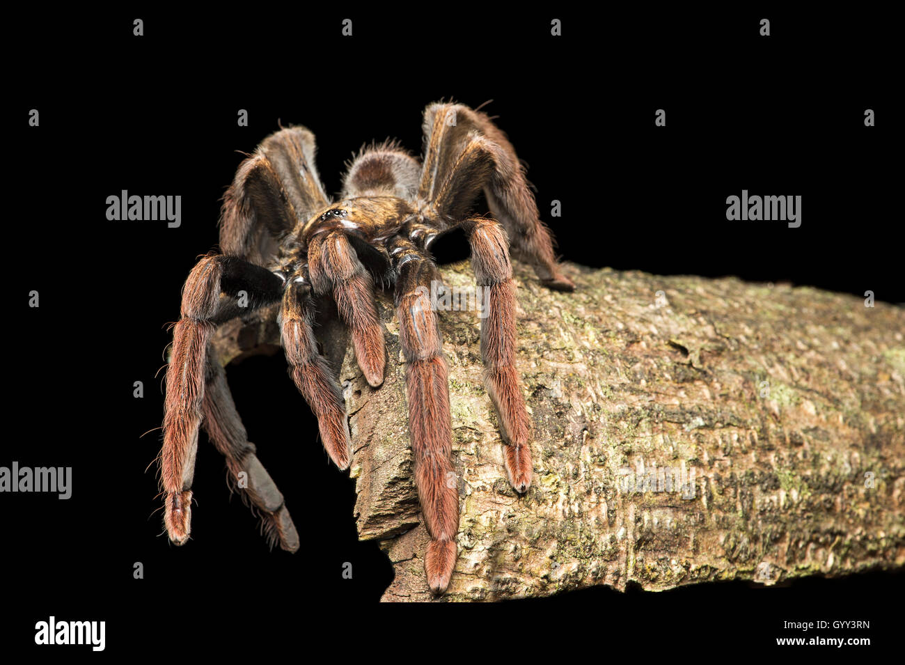 Juvenile Tarantula, (Theraphosidae family), Amazon rainforest, Canande River Reserve, Choco forest, Ecuador - Stock Image