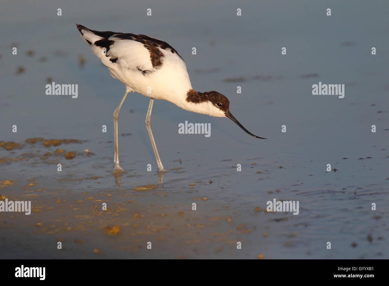 Avocet (Recurvirostra avosetta) searching for food in shallow water, Illmitz, National Park Lake Neusiedl, Burgenland, - Stock Image