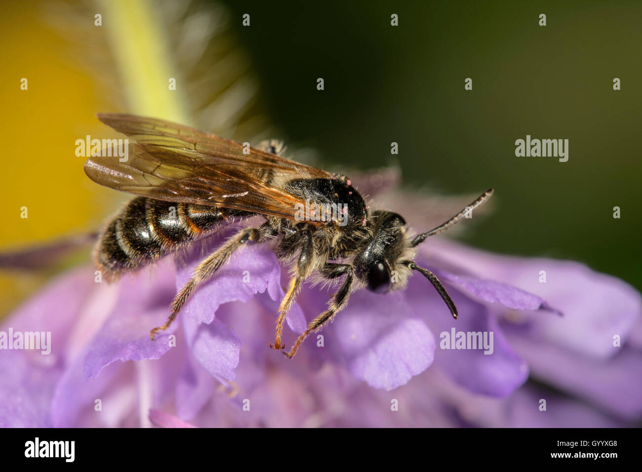 Banded Dark-Bee (Stelis punctulatissima) on Field Scabious (Knautia arvensis), Baden-Württemberg, Germany - Stock Image