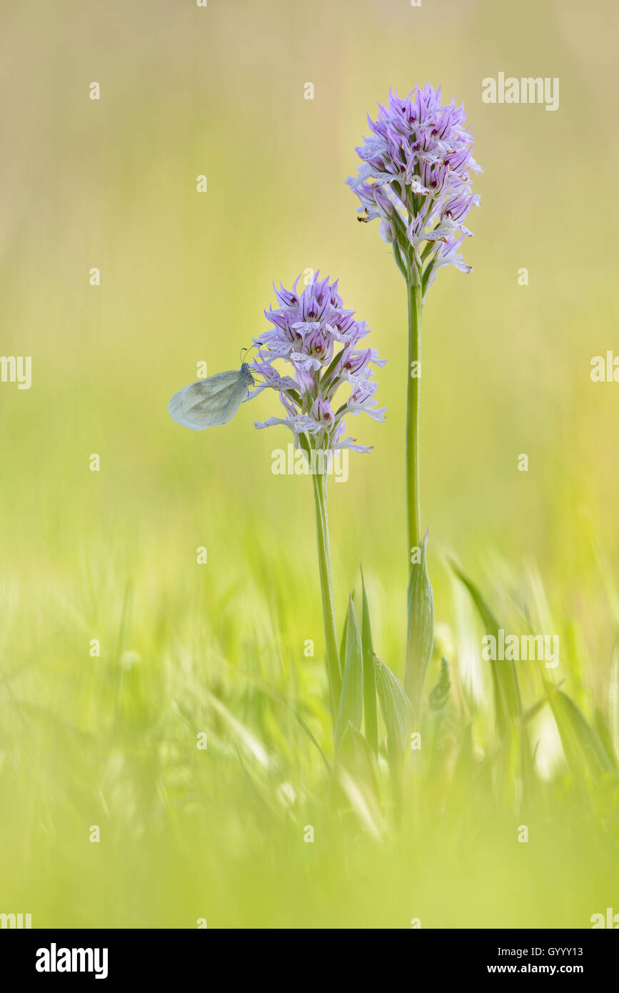 Small Whites (Pieris rapae) sits on orchid, three-toothed orchid (Neotinea tridentata), Kyffhäuser, Thuringia, - Stock Image
