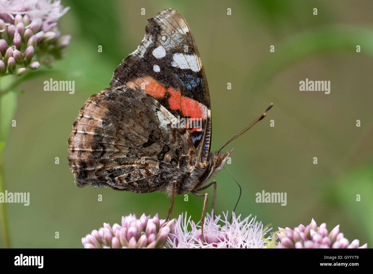 Red Admiral (Vanessa atalanta) on flower, Burgenland, Austria Stock Photo