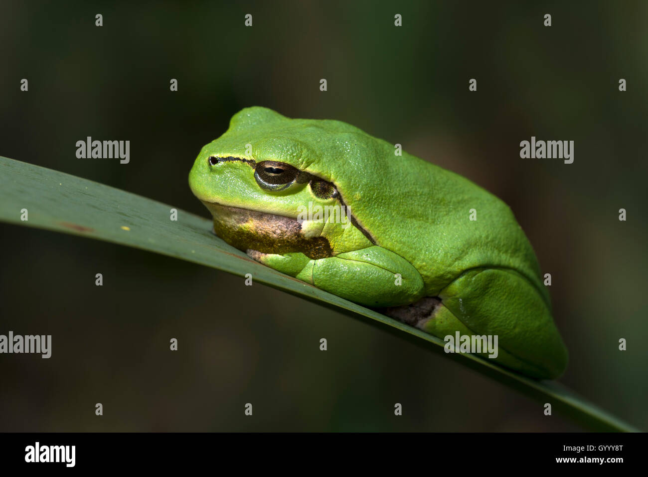 European tree frog (Hyla arborea) sitting on leaf, Burgenland, Austria - Stock Image