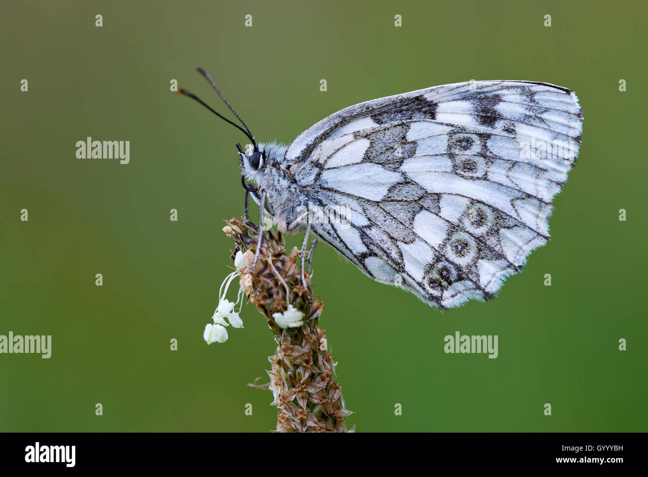 Marbled white (Melanargia galathea) on flower, Burgenland, Austria - Stock Image