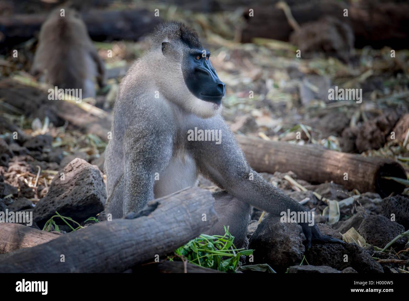 Drill (Mandrillus leucophaeus), Primatenart aus der Familie der Meerkatzenverwandten. Zusammen mit dem Mandrill Stock Photo