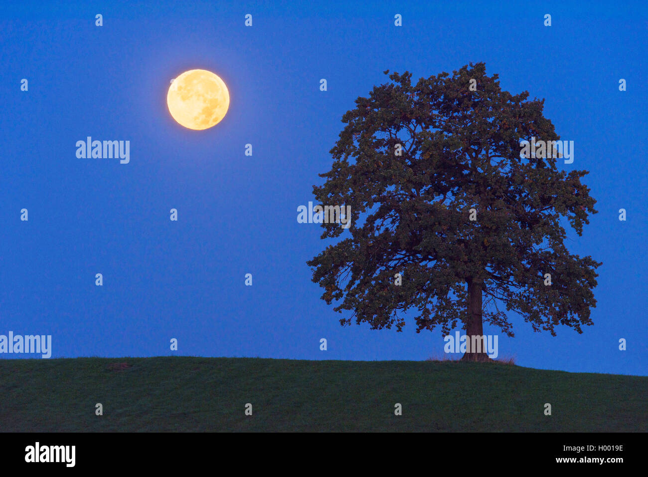 Vollmond im Halbschatten der Erde neben einem Baum, Deutschland, Bayern | single tree and full moon at night, Germany, Stock Photo