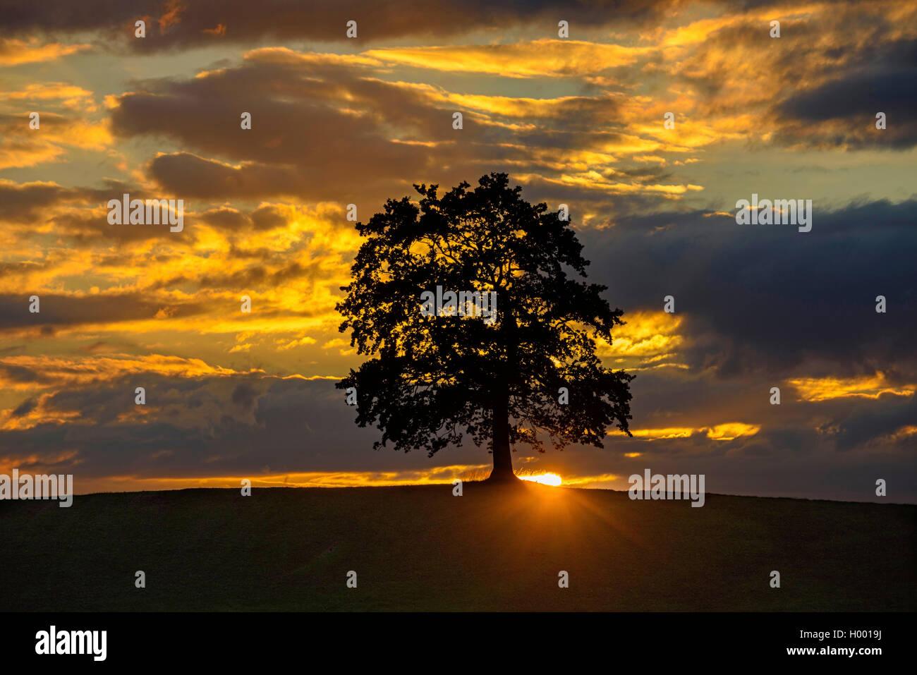 Baum vor leuchtenden Wolken bei Sonnenuntergang, Deutschland, Bayern, Allgaeu   tree at sunset, Germany, Bavaria, - Stock Image