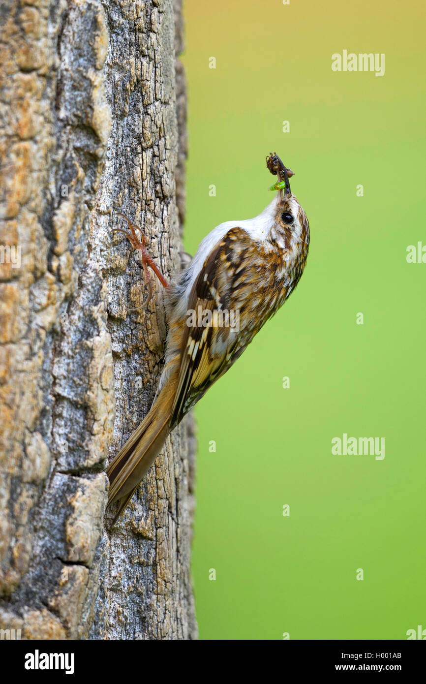 common treecreeper (Certhia familiaris), sitting at a tree trunk with caught insects in the bill, Germany, Bavaria Stock Photo