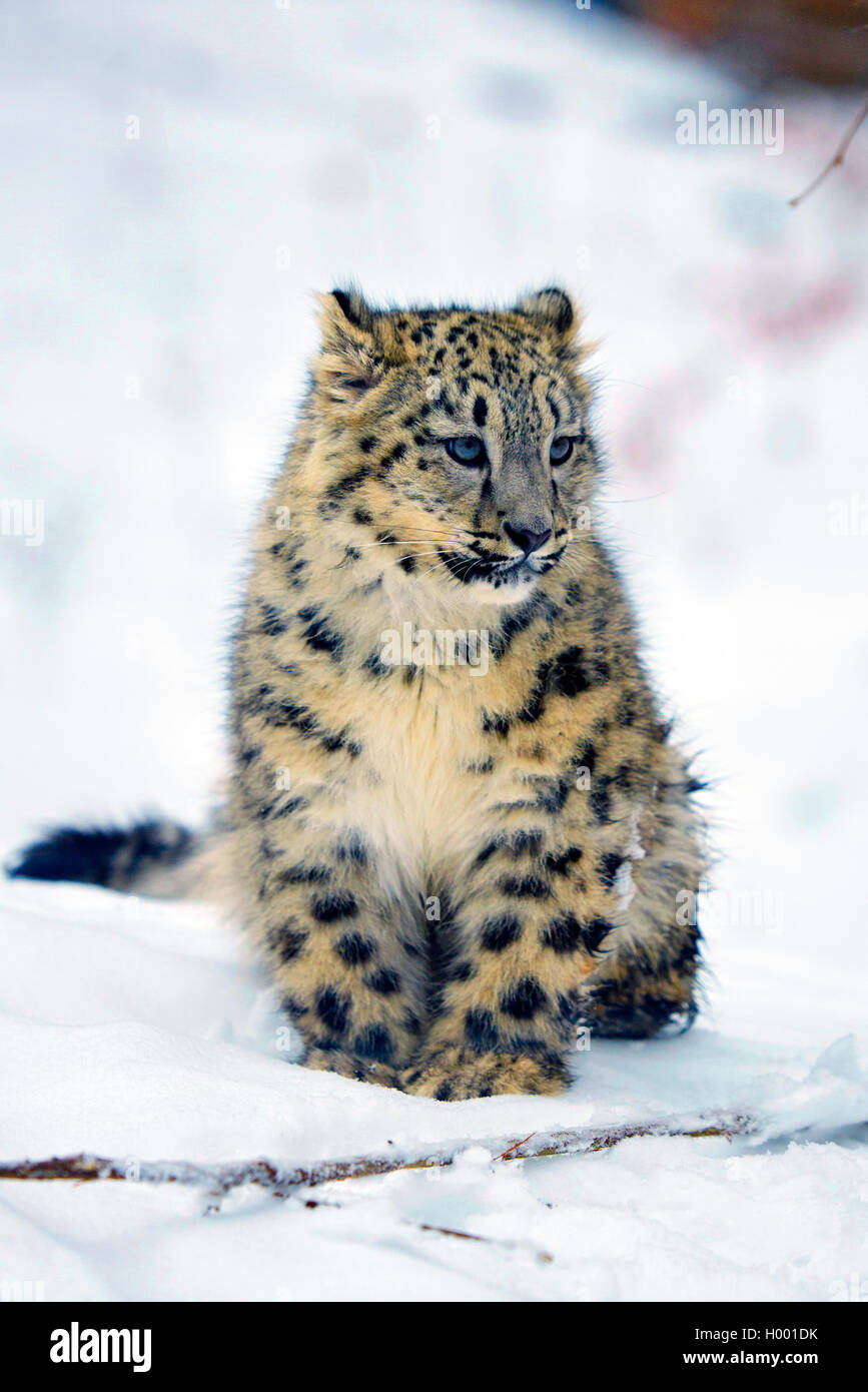 Schneeleopard, Schnee-Leopard, Irbis (Uncia uncia, Panthera uncia), Jungtier im Schnee | snow leopard (Uncia uncia, - Stock Image