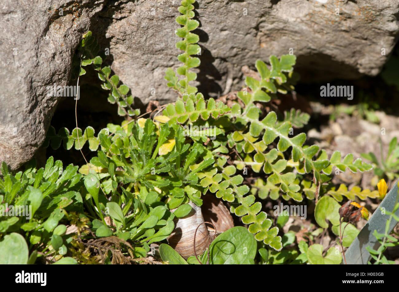 milzfarn, schriftfarn, apothekerfarn (asplenium ceterach, ceterach