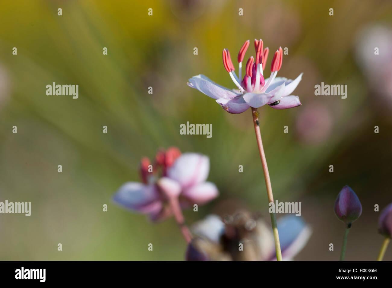 Schwanenblume, Schwanen-Blume, Wasserliesch, Blumenbinse, Doldige Schwanenblume, Wasserviole (Butomus umbellatus), Stock Photo