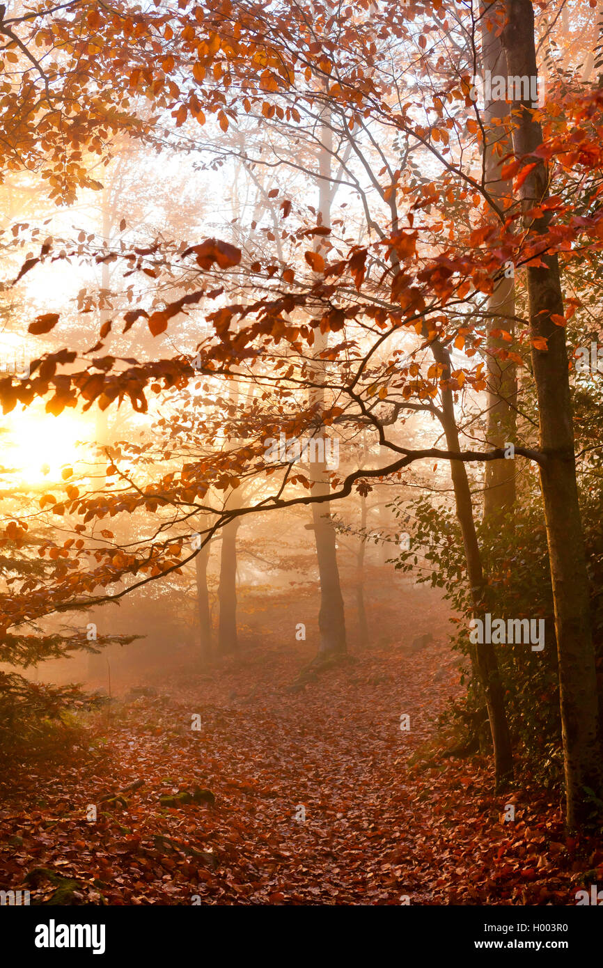 autumn forest in mist, Germany, Baden-Wuerttemberg Stock Photo