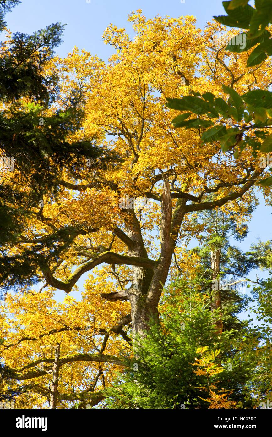 Stiel-Eiche, Stieleiche (Quercus robur), im Mischwald im Herbst, Deutschland, Baden-Wuerttemberg | common oak, pedunculate - Stock Image