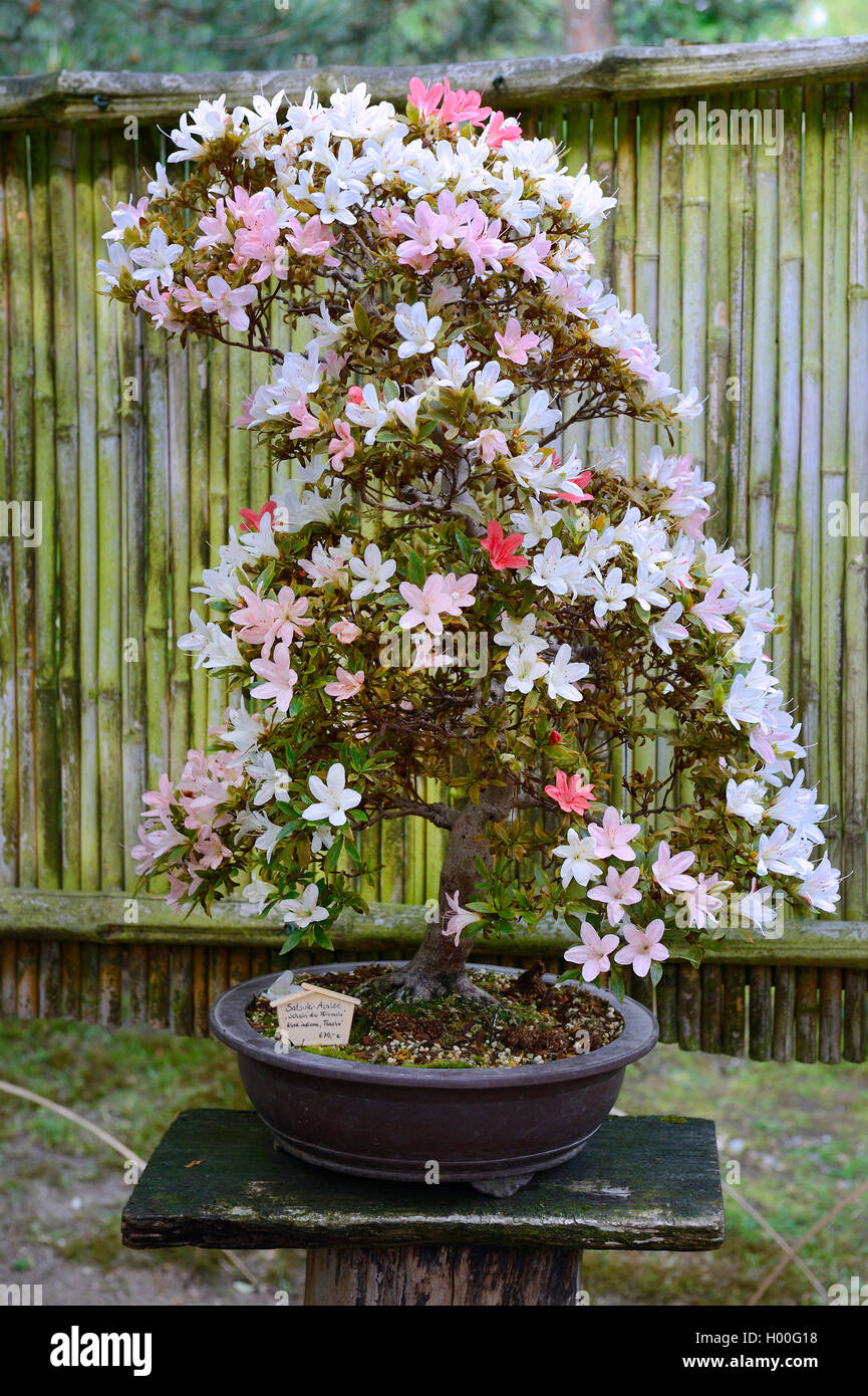 Rhododendron Bonsai High Resolution Stock Photography And Images Alamy