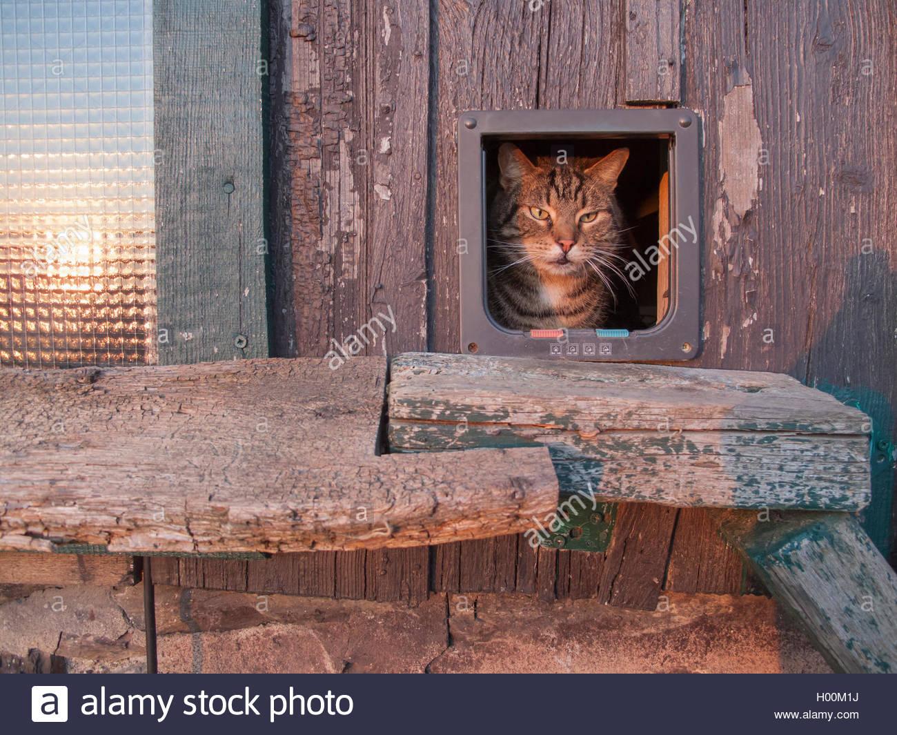 Hauskatze, Haus-Katze (Felis silvestris f. catus), schaut aus Katzentuer heraus, Deutschland | domestic cat, house Stock Photo