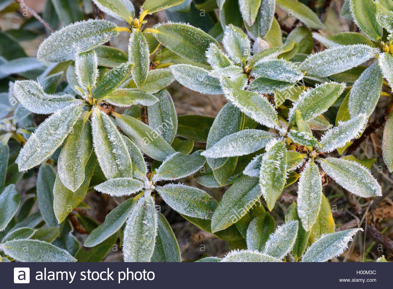 Rhododendron (Rhododendron spec.), Raureif auf Rhododendron, Deutschland | rhododendron (Rhododendron spec.), hoar Stock Photo