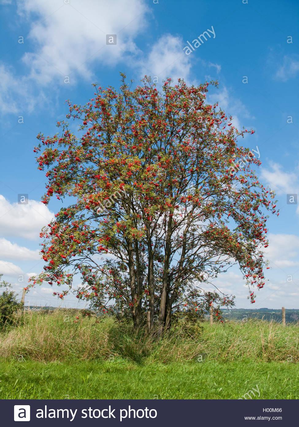 Gewoehnliche Eberesche, Gemeine Eberesche, Vogelbeere (Sorbus aucuparia), fruchtender Baum, Deutschland | European Stock Photo