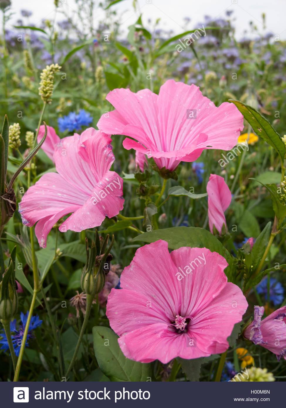 Strauchpappel - 30 Samen Bechermalve Buschmalve Lavatera trimestris pink