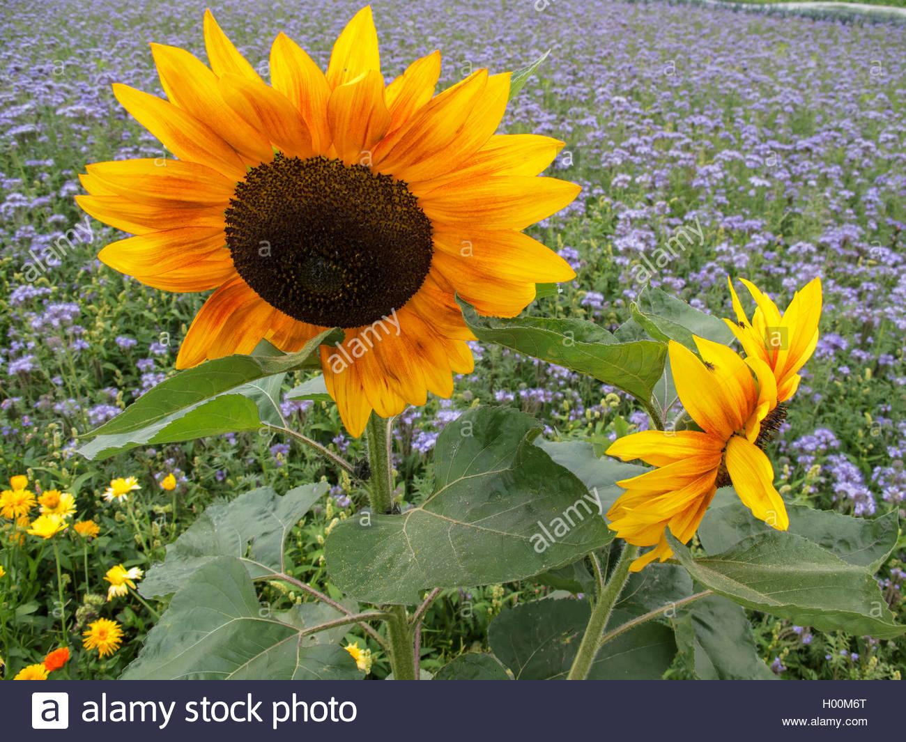 Sonnenblume, Sonnen-Blume (Helianthus annuus), zweifarbig bluehend, Deutschland   common sunflower (Helianthus annuus), - Stock Image