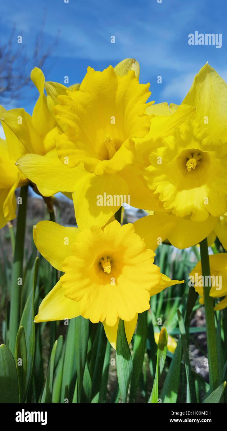 Narzisse, Osterglocke (Narcissus spec.), Trompetennarzissen, bluehend im Zierrasen, Deutschland | daffodil (Narcissus Stock Photo