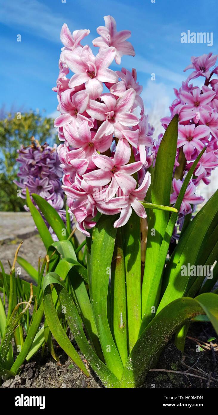 Jacinthe (Hyacinthus orientalis), inflorescence Stock Photo