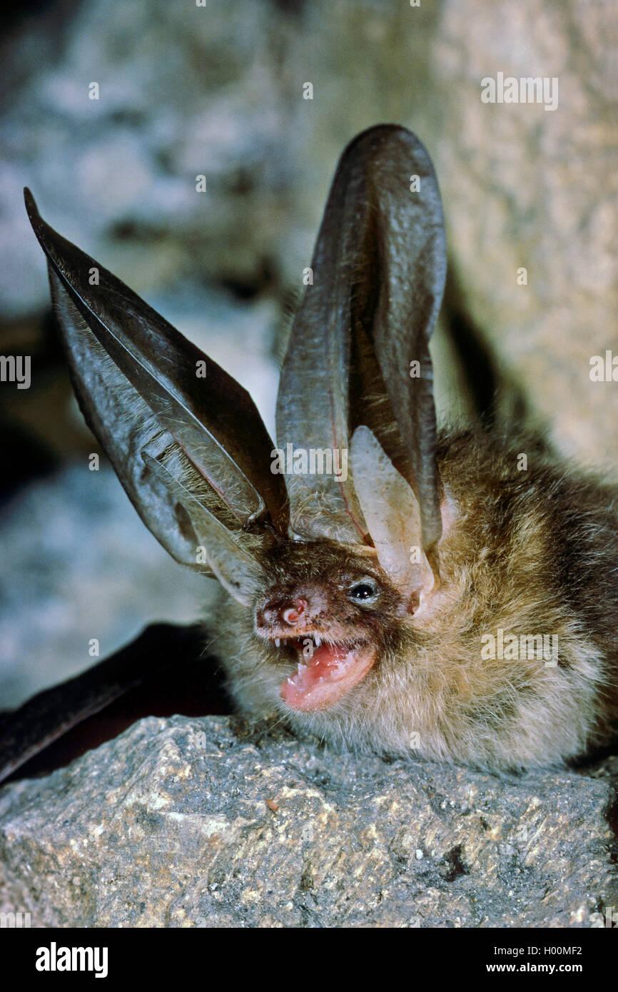 Braunes Langohr, Braune Langohrfledermaus, Grossohr (Plecotus auritus), drohend, Portraet, Deutschland | brown long Stock Photo