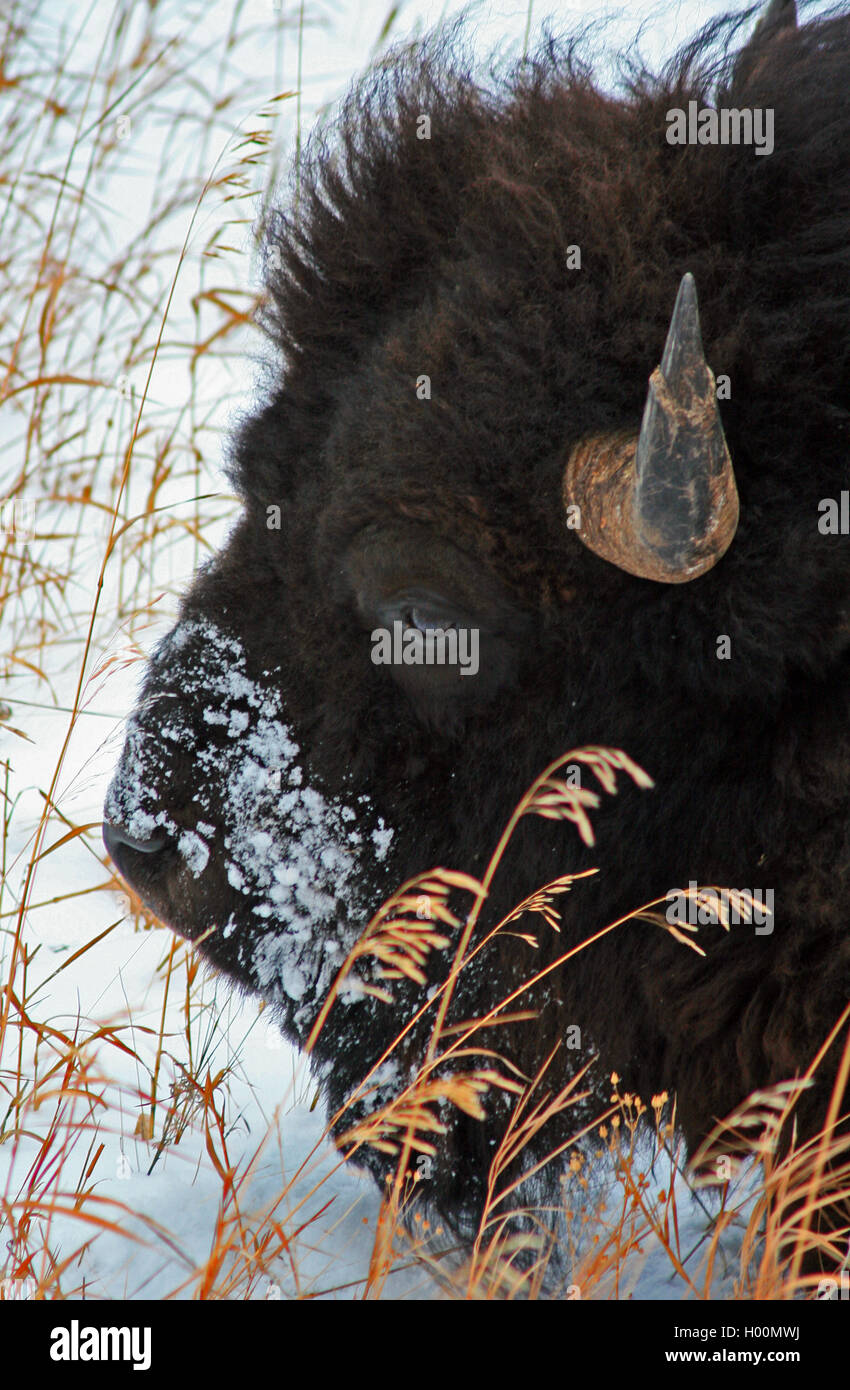 American Bison Buffalo Bull in the Lamar Valley during winter in