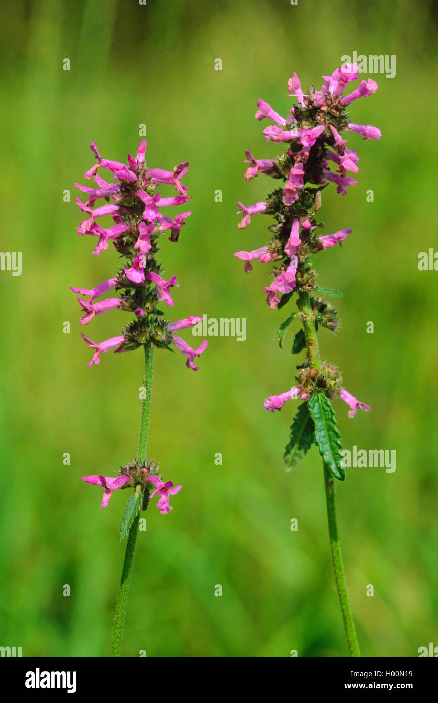 Heil ziest Pinky-Stachys officinalis