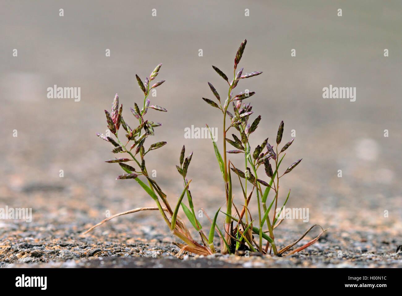 Kleines Liebesgras (Eragrostis minor, Poa eragrostis), bluehend auf einem Buergersteig, Deutschland | Little love Stock Photo