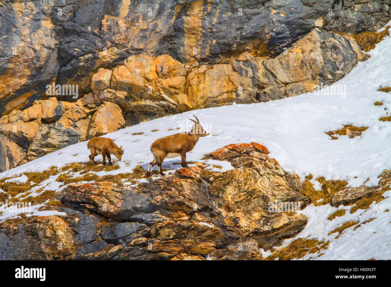 Alpine ibex (Capra ibex, Capra ibex ibex), female ibex with young animal standing in the mountains on a snow-covered Stock Photo