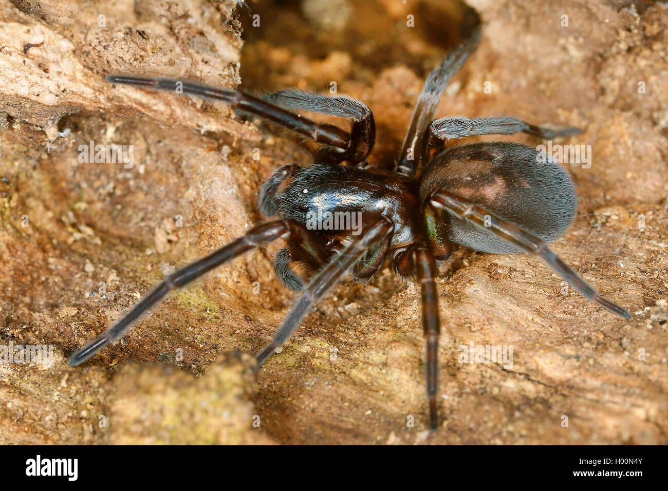 Finsterspinnen (Amaurobiidae), auf dem Boden, Oesterreich   white-eyed spiders (Amaurobiidae), on the ground, Austria - Stock Image