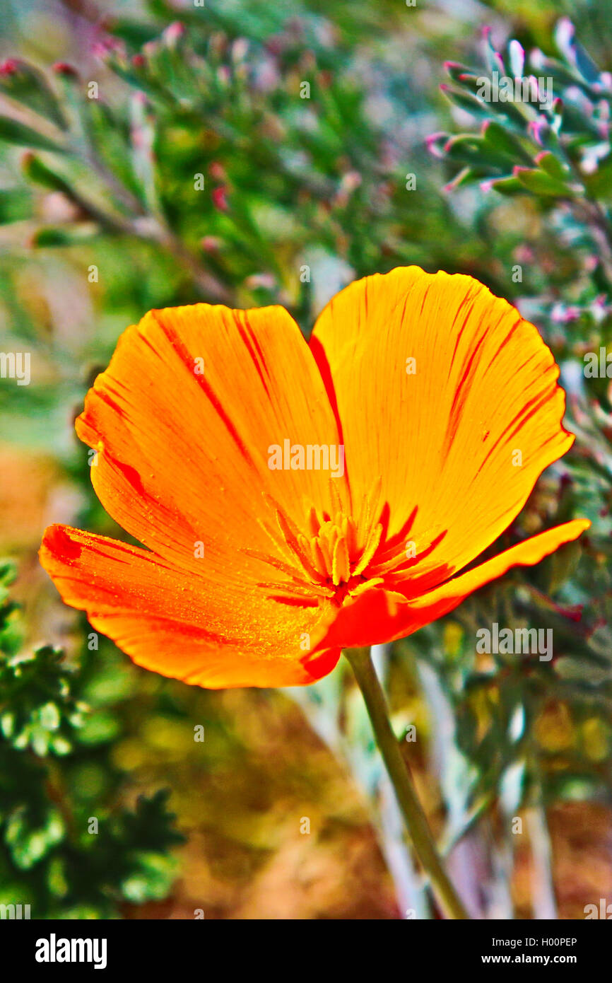 California Golden Poppy Flower With Pollen During The Spring In The