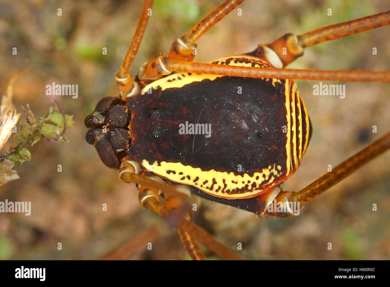 Weberknecht, Cynorta marginalis (Cynorta marginalis), Koerper, Costa Rica | Harvestman (Cynorta marginalis), body, - Stock Image